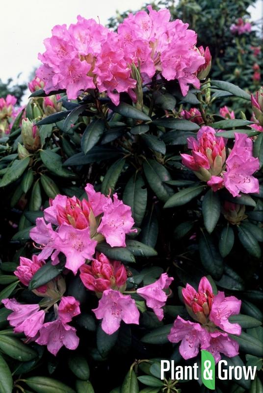 rhododendron 39 roseum elegans 39 kopen plant grow. Black Bedroom Furniture Sets. Home Design Ideas