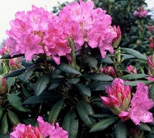 Rhododendron 'Roseum Elegans' Rhododendron