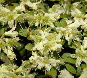 Rhododendron 'Shamrock' Rhododendron