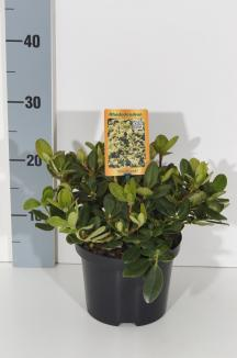 Rhododendron 'Shamrock' | Rhododendron (Ø 17cm pot)