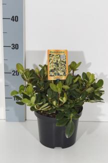 Rhododendron 'Shamrock' | Rhododendron (Ø 17cm pot)