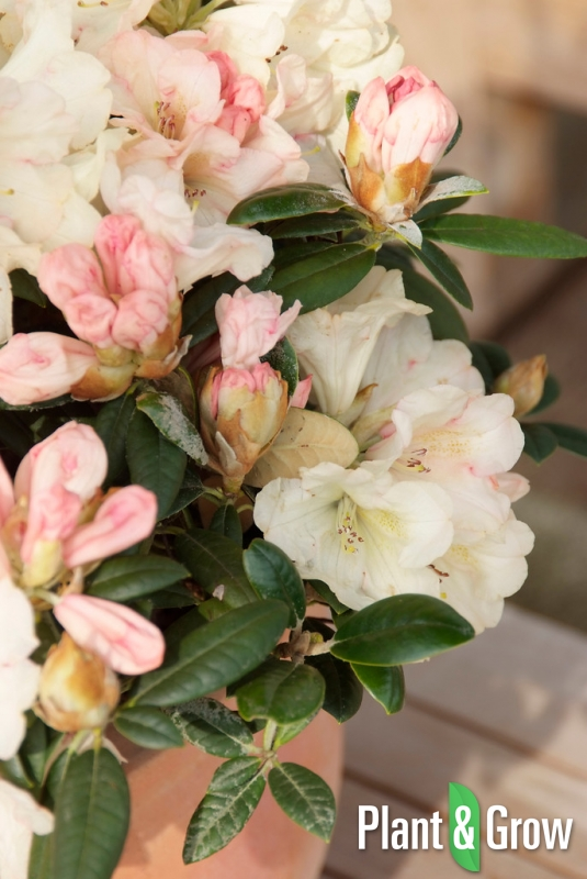 Rhododendron Y Dusty Miller Kopen Plant Grow
