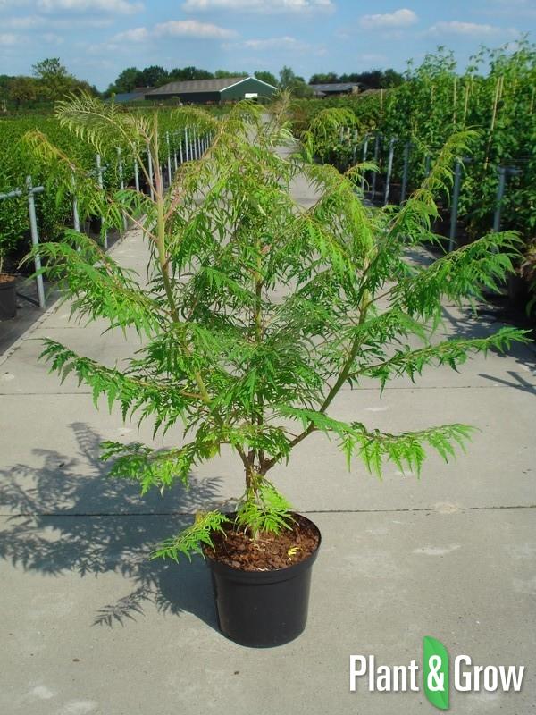 Rhus typhina 'Dissecta' | Fluweelboom (12L pot)