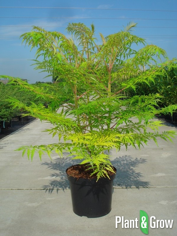 Rhus typhina 'Tiger Eyes' | Goudbladige Fluweelboom (12L pot)