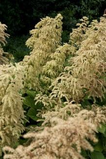 Rodgersia aesculifolia | Schout bij nacht
