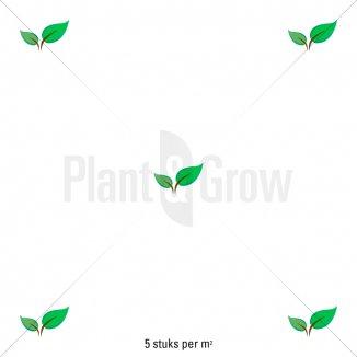 Plantafstand | Rosa 'The Fairy' (Ø 17cm pot)