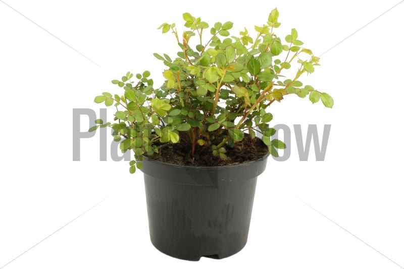 Rosa 'Yellow Fairy' | Gele roos (Ø 17cm pot) - VOORJAAR