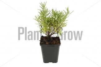Rosmarinus officinalis | Rozemarijn (pot 9x9cm)