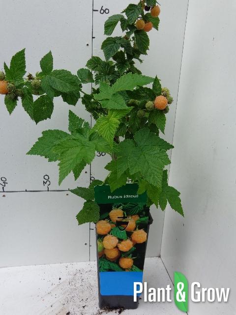 Rubus idaeus 'Fallgold' | Gele herfstframboos