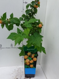 Rubus idaeus 'Fallgold' Gele herfstframboos
