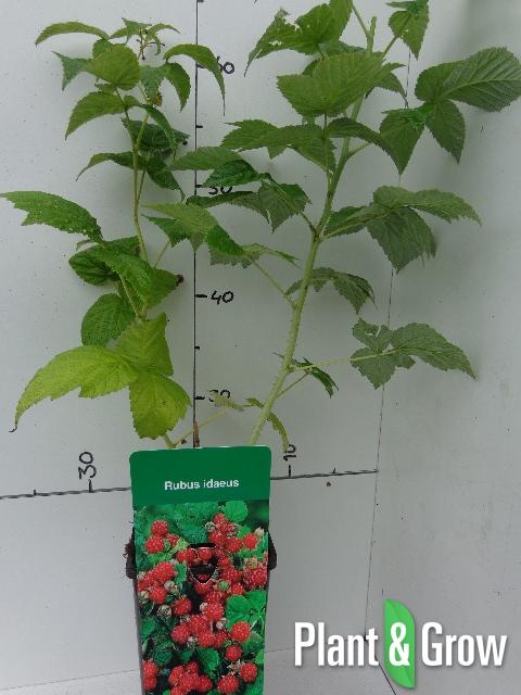 Rubus idaeus 'Red' | Rode herfstframboos