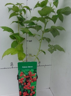 Rubus idaeus 'Red' Rode herfstframboos