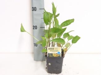 Rudbeckia fulgida 'Goldsturm' | Zonnehoed (pot 9x9cm)