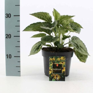 Rudbeckia fulgida 'Goldsturm' | Zonnehoed (Ø 17cm pot)