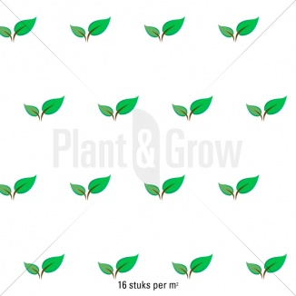 Plantafstand | Sagina subulata (pot 9x9 cm)