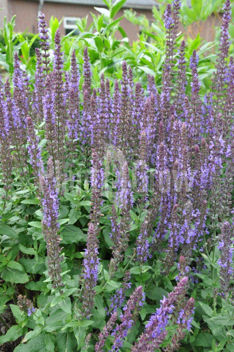 Salvia nemorosa 'Blaukonigin' | Salie