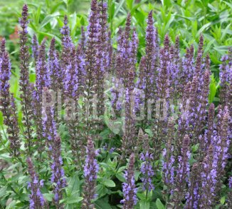Salvia nemorosa 'Blaukonigin'