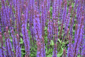Salvia nemorosa 'Caradonna' | Salie in bloei