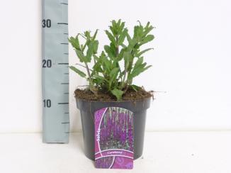 Salvia nemorosa 'Caradonna' | Salie (Ø 17cm pot)
