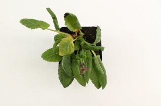 Salvia nemorosa 'Mainacht' | Salie (pot 9x9cm)
