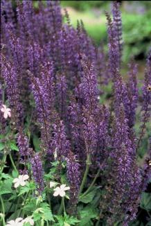 Salvia nemorosa 'Mainacht' | Salie