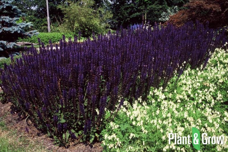 salvia nemorosa 39 mainacht 39 salie kopen plant grow. Black Bedroom Furniture Sets. Home Design Ideas