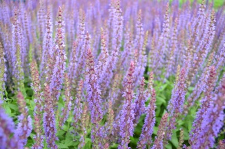 Salvia nemorosa 'Ostfriesland' | Salie