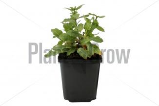 Salvia nemorosa 'Ostfriesland' | Salie (pot 9x9cm)