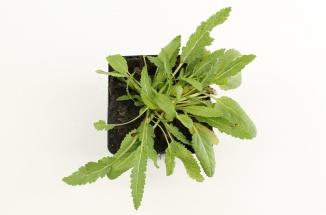 Salvia nemorosa 'Rose Queen' | Salie (pot 9x9cm)