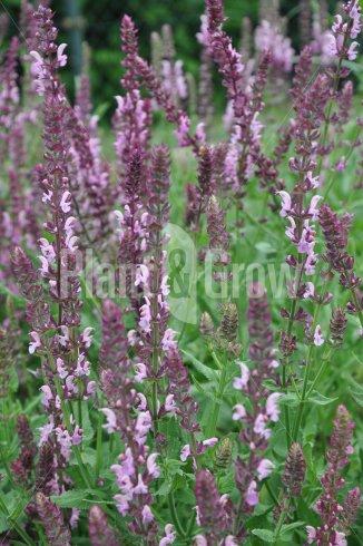 Salvia nemorosa 'Rose Queen' | Salie