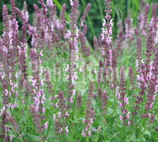 Salvia nemorosa 'Rose Queen' Salie
