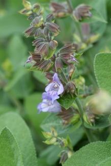 Salvia officinalis 'Berggarten' | Echte salie