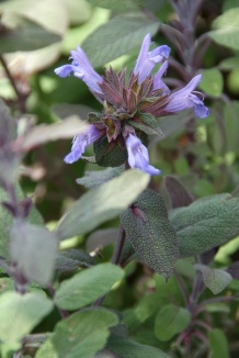 Salvia officinalis 'Purpurascens' | Purperkleurige salie