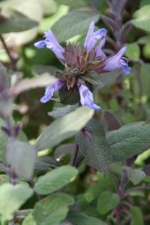 Salvia officinalis 'Purpurascens' | Purperkleurige salie