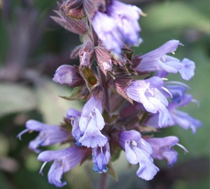 Salvia officinalis 'Purpurascens' Purperkleurige salie
