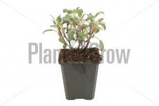 Salvia officinalis 'Purpurascens' | Purperkleurige salie (pot 9x9cm)