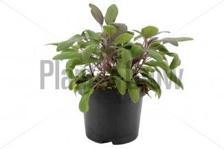 Salvia officinalis 'Purpurascens' | Purperkleurige salie (Ø 17cm pot)