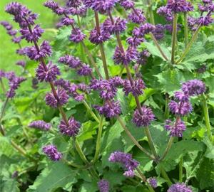 Salvia verticillata 'Purple Rain' Kranssalie