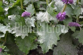 Salvia verticillata 'Purple Rain' | Kranssalie