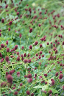 Sanguisorba officinalis 'Tanna' | Pimpernel