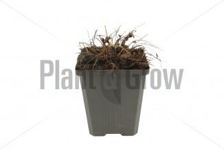 Sanguisorba officinalis 'Tanna'   Pimpernel (pot 9x9cm) - WINTER