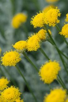 Santolina chamaecyparissus | Heiligenbloem