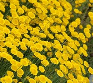 Santolina chamaecyparissus Heiligenbloem