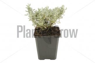 Santolina chamaecyparissus | Heiligenbloem (pot 9x9cm)