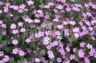 Saponaria ocymoides | Zeepkruid