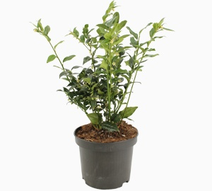 Sarcococca confusa Vleesbes