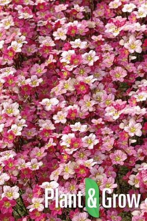 Saxifraga (A) 'Blütenteppich' | Steenbreek