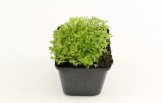 Saxifraga (A) 'Blütenteppich' | Steenbreek (pot 9x9cm)