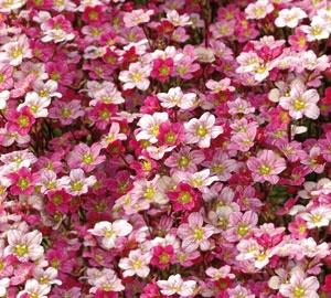 Saxifraga (A) 'Blütenteppich' Steenbreek