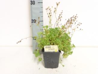 Saxifraga (A) 'Schneeteppich' | Steenbreek (pot 9x9cm)